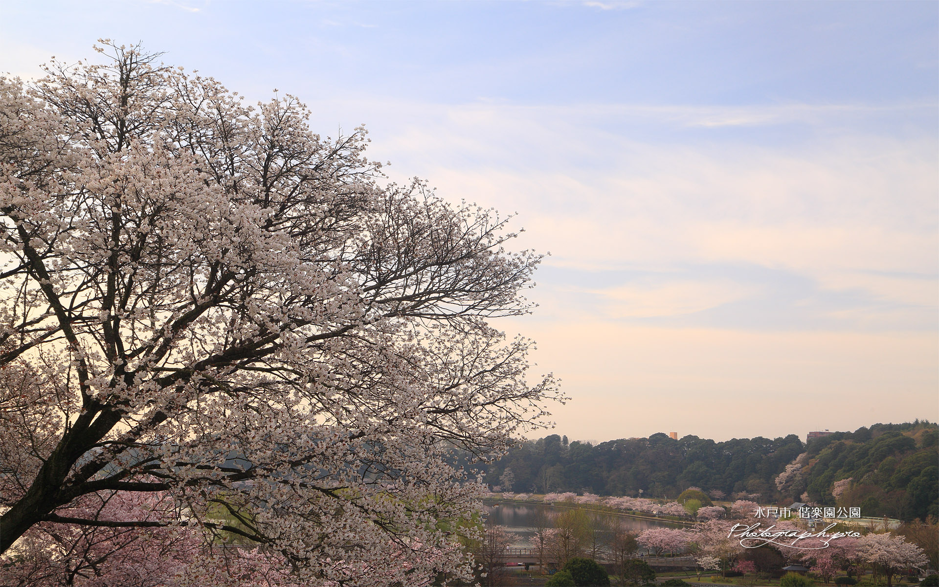 水戸市 偕楽園公園の桜