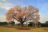 偕楽園の左近桜