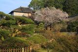 好文亭の山桜