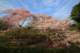 偕楽園の二季咲桜