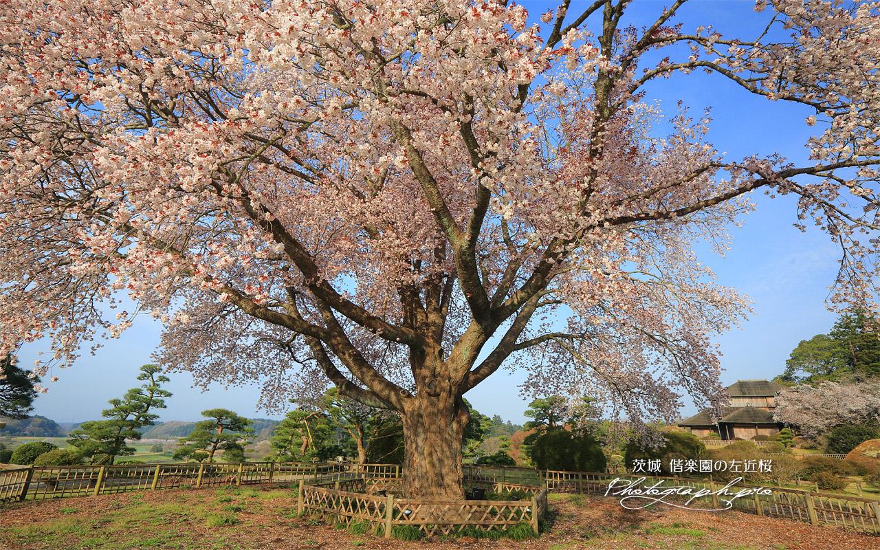 偕楽園の左近桜 壁紙