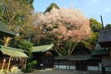 常盤神社の山桜