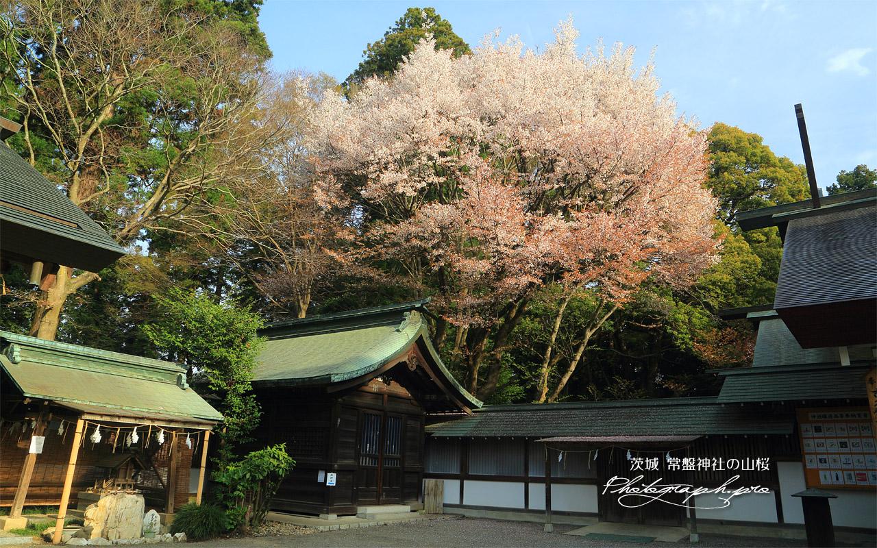 常盤神社の山桜 壁紙