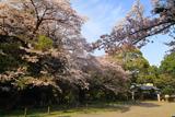 水戸市 常盤神社の桜