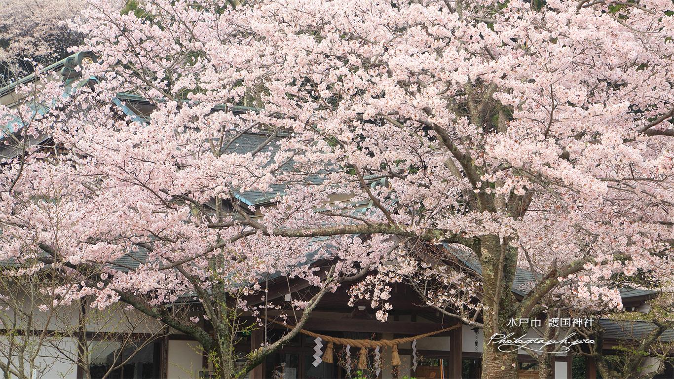 水戸市 護国神社の桜 壁紙