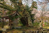 護国神社のねがい桜