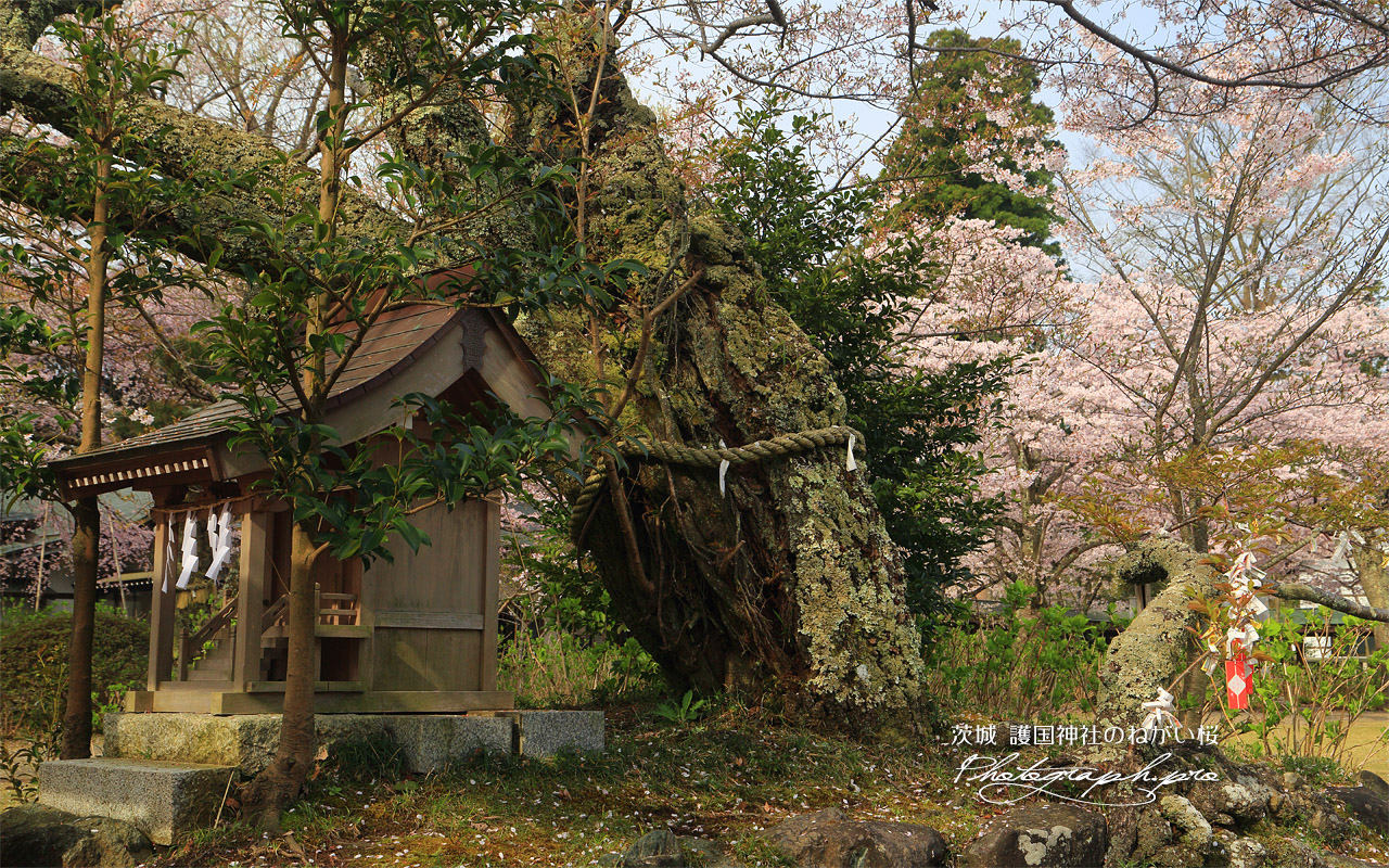 護国神社のねがい桜 壁紙