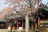 水戸市 護国神社の桜