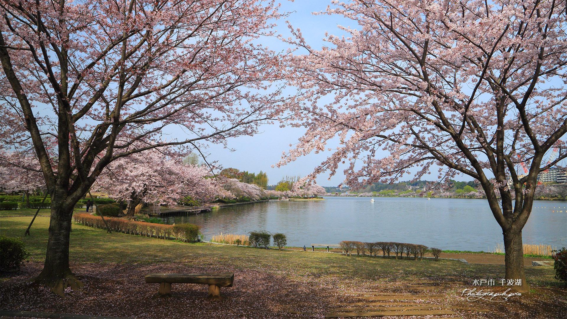 水戸市 千波湖の桜