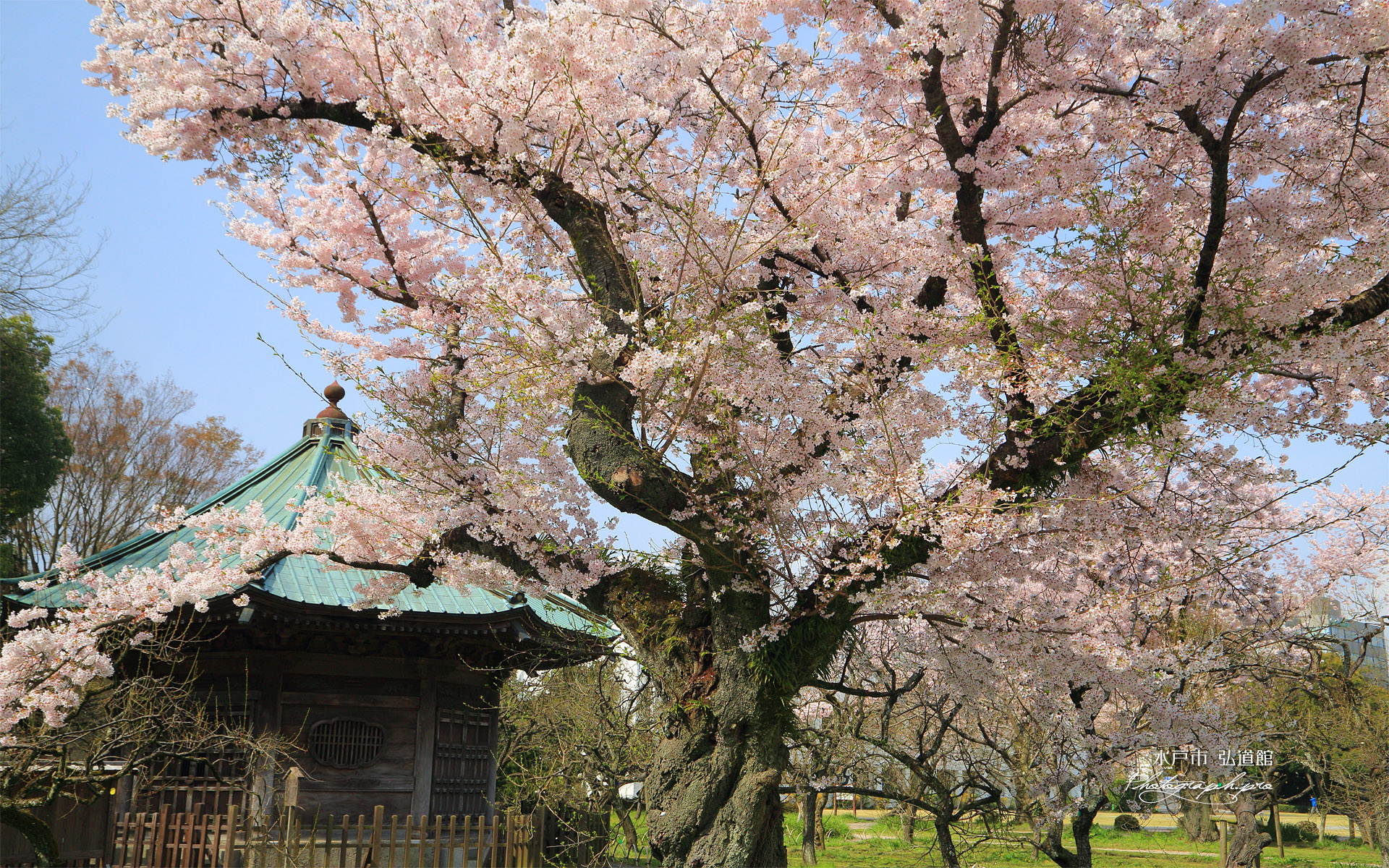 水戸市 弘道館の桜