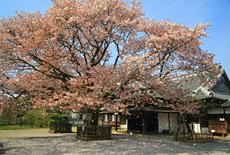 弘道館の桜