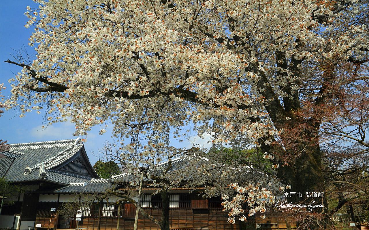 水戸市 弘道館の桜 壁紙