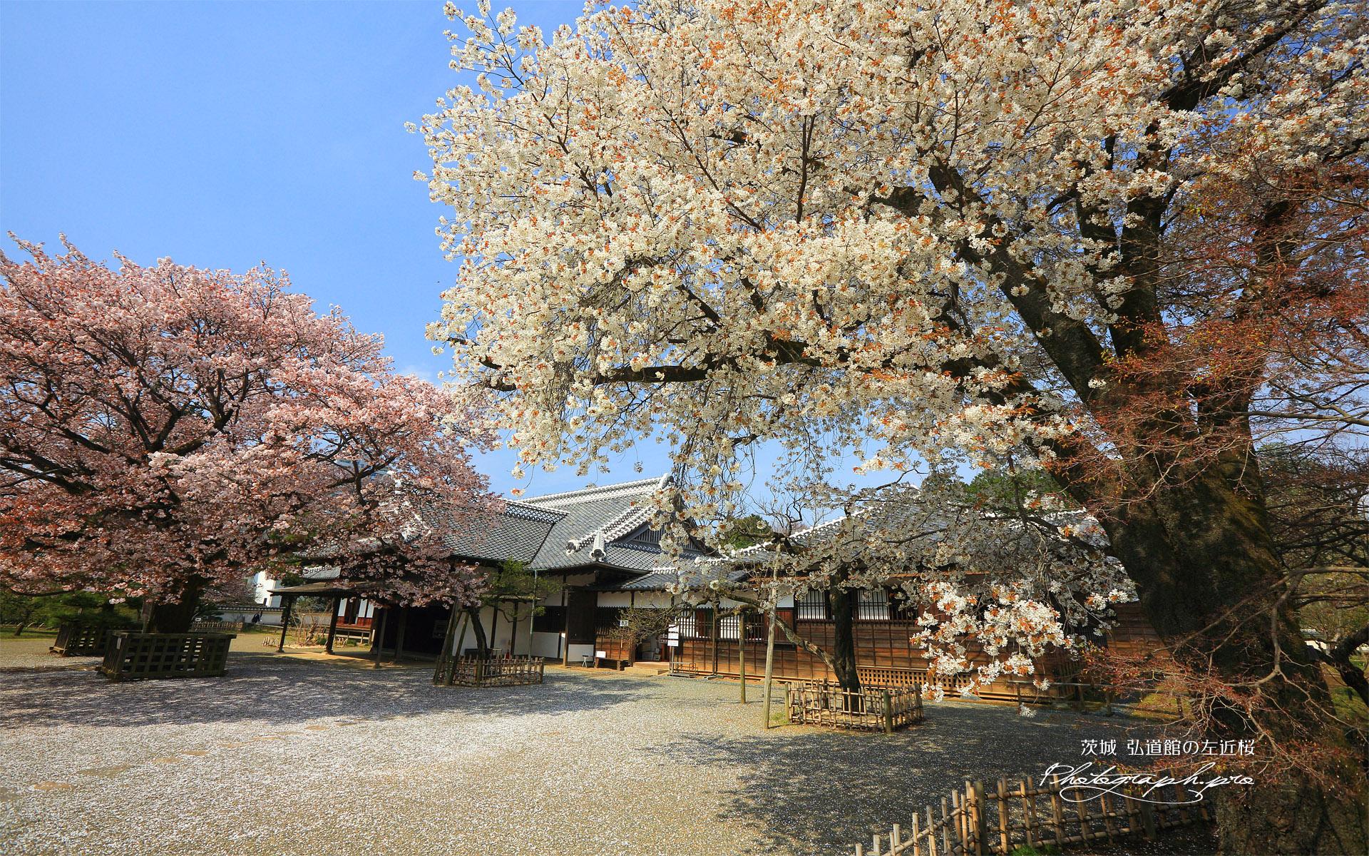 弘道館の左近桜