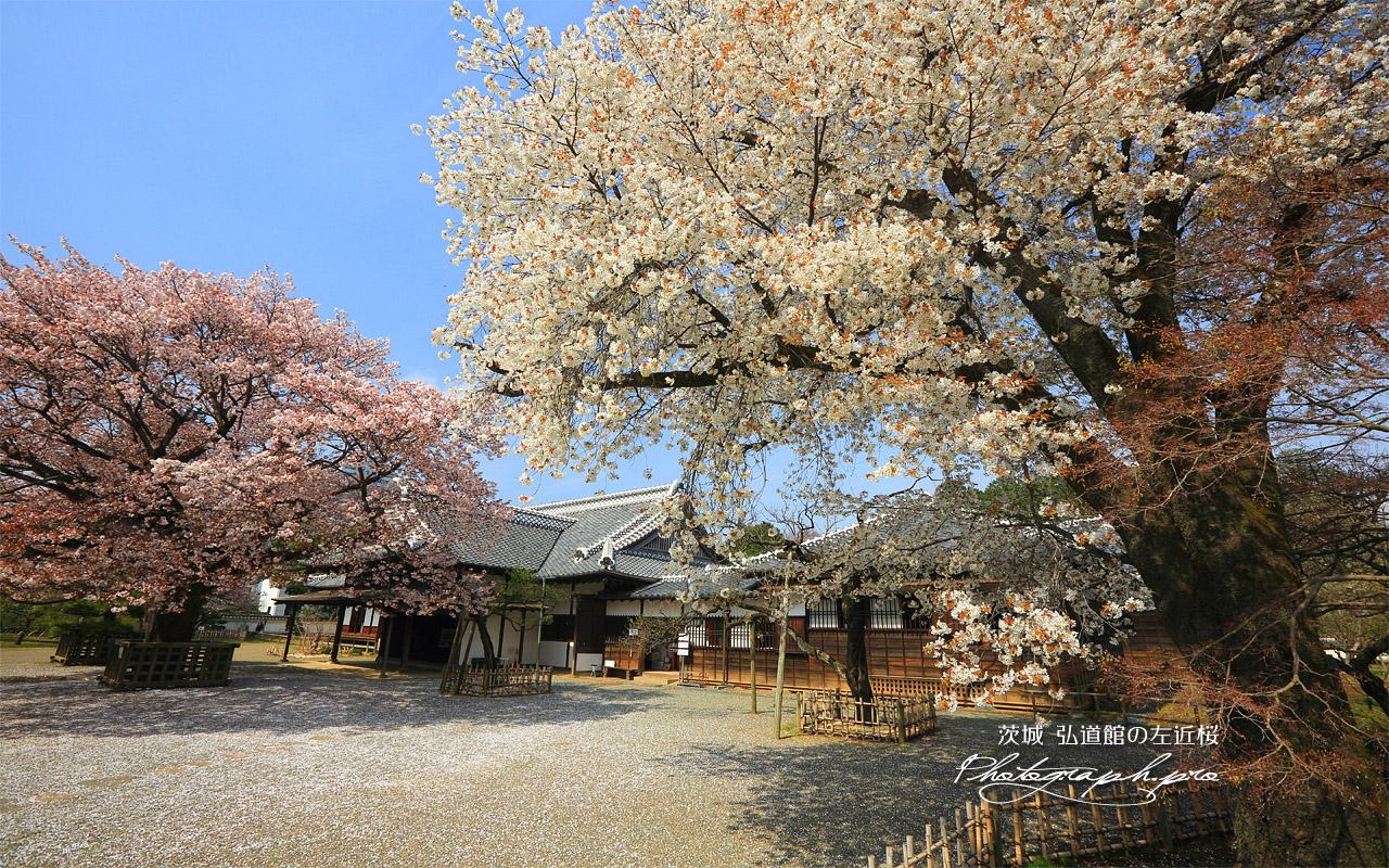 弘道館の左近桜 壁紙