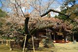水戸八幡宮の桜