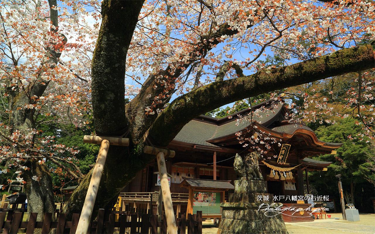 水戸八幡宮の右近桜 壁紙