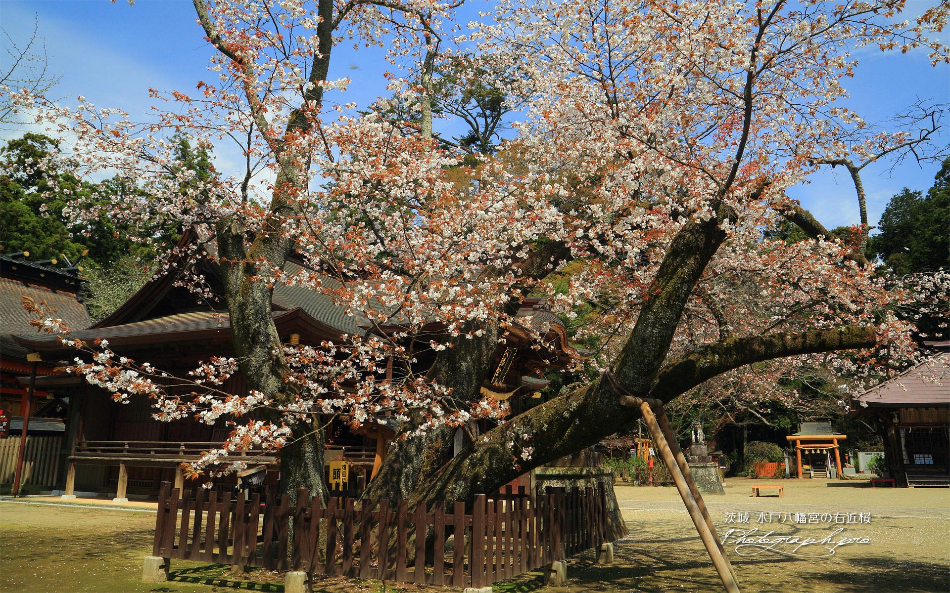 水戸八幡宮の右近桜