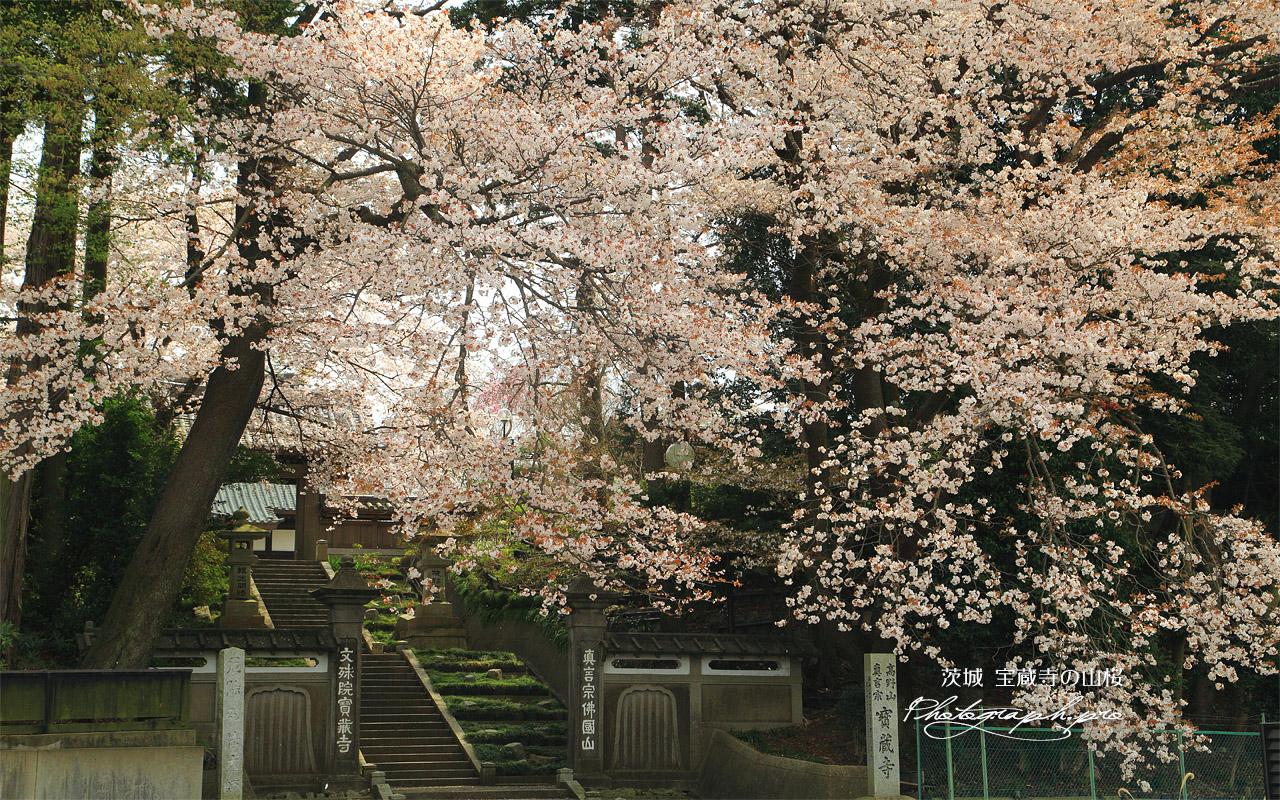 宝蔵寺の山桜 壁紙