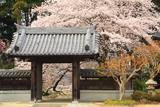 水戸市 宝蔵寺の桜
