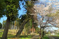 全隈鹿島神社の山桜