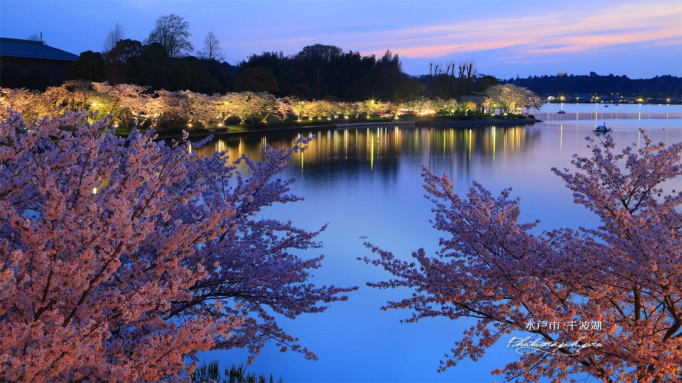 水戸市 千波湖の桜 壁紙