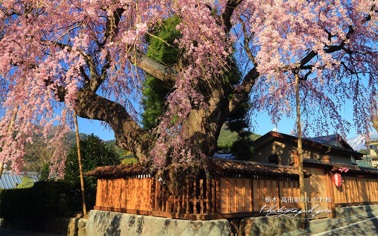 高田家のしだれ桜 壁紙