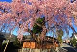 高田家のしだれ桜