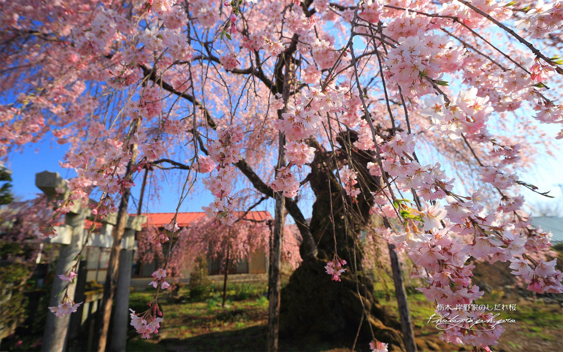 岸野家のしだれ桜
