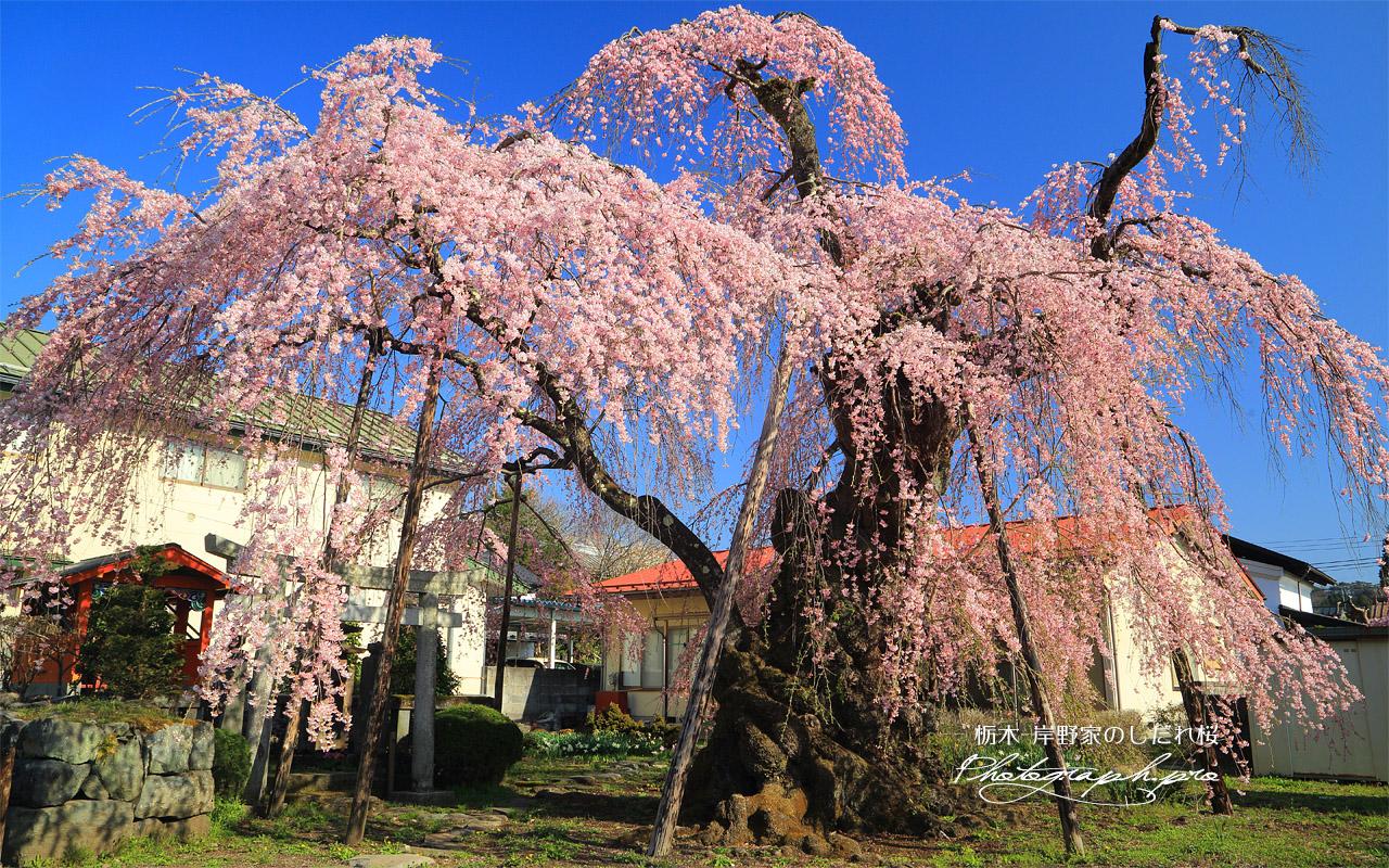岸野家のしだれ桜 壁紙