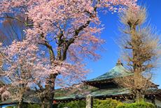 龍蔵寺のエドヒガン