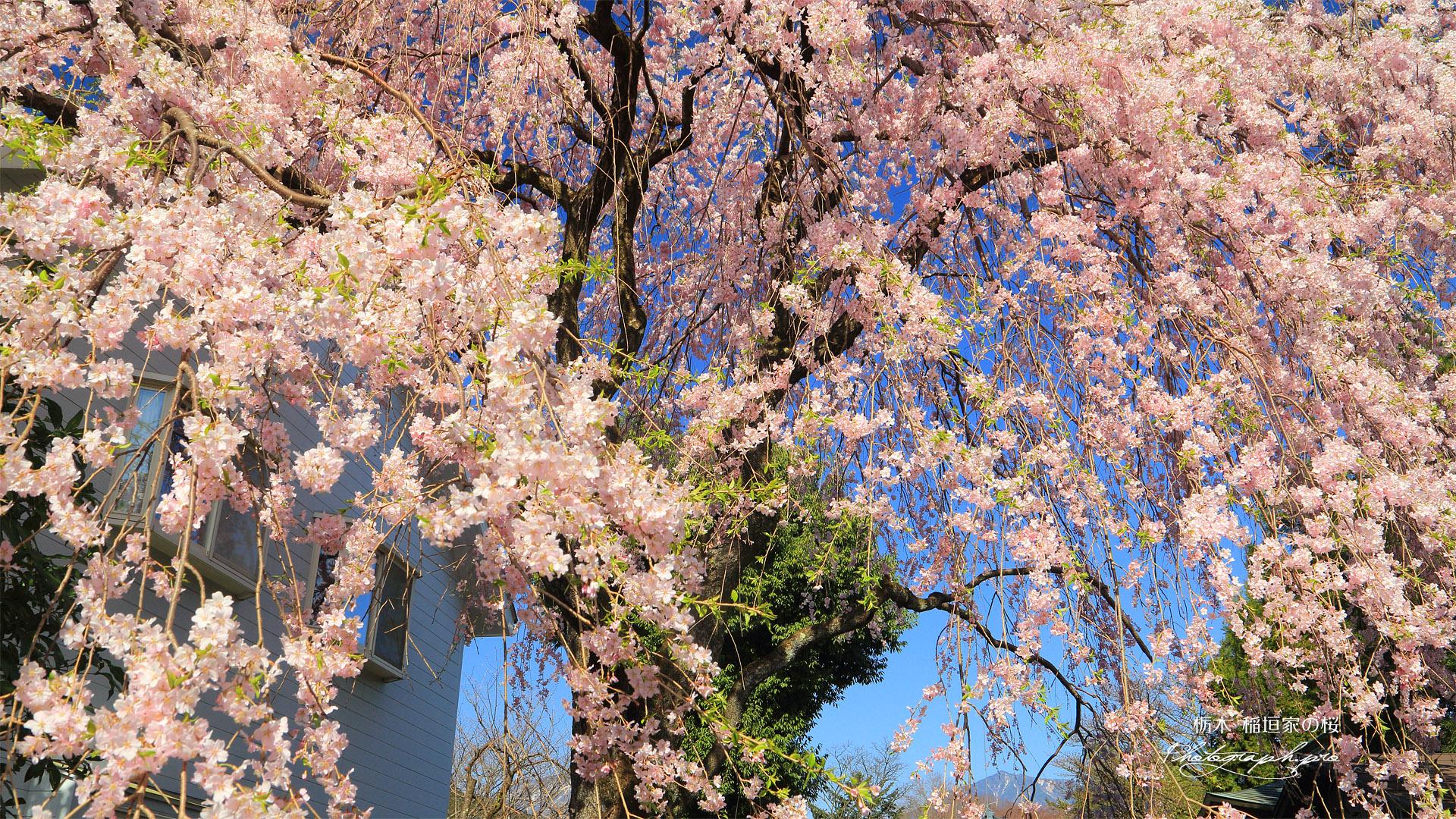 稲垣家の桜