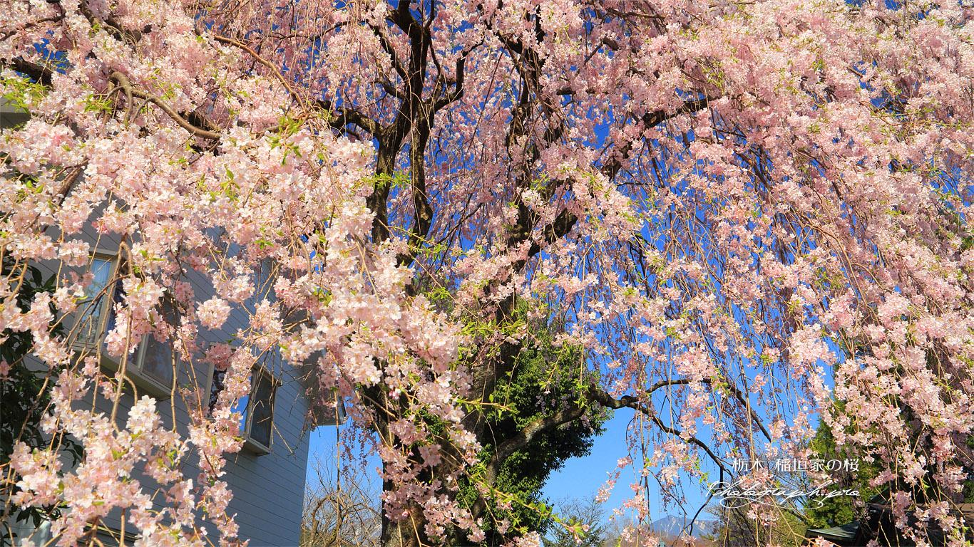 稲垣家の桜 壁紙