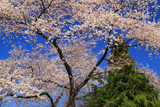 石屋町の桜