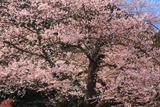 後藤家の桜