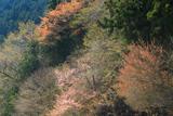 神ノ主山の桜