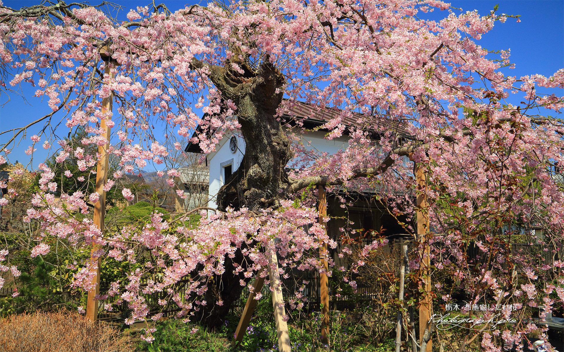 布施家のしだれ桜