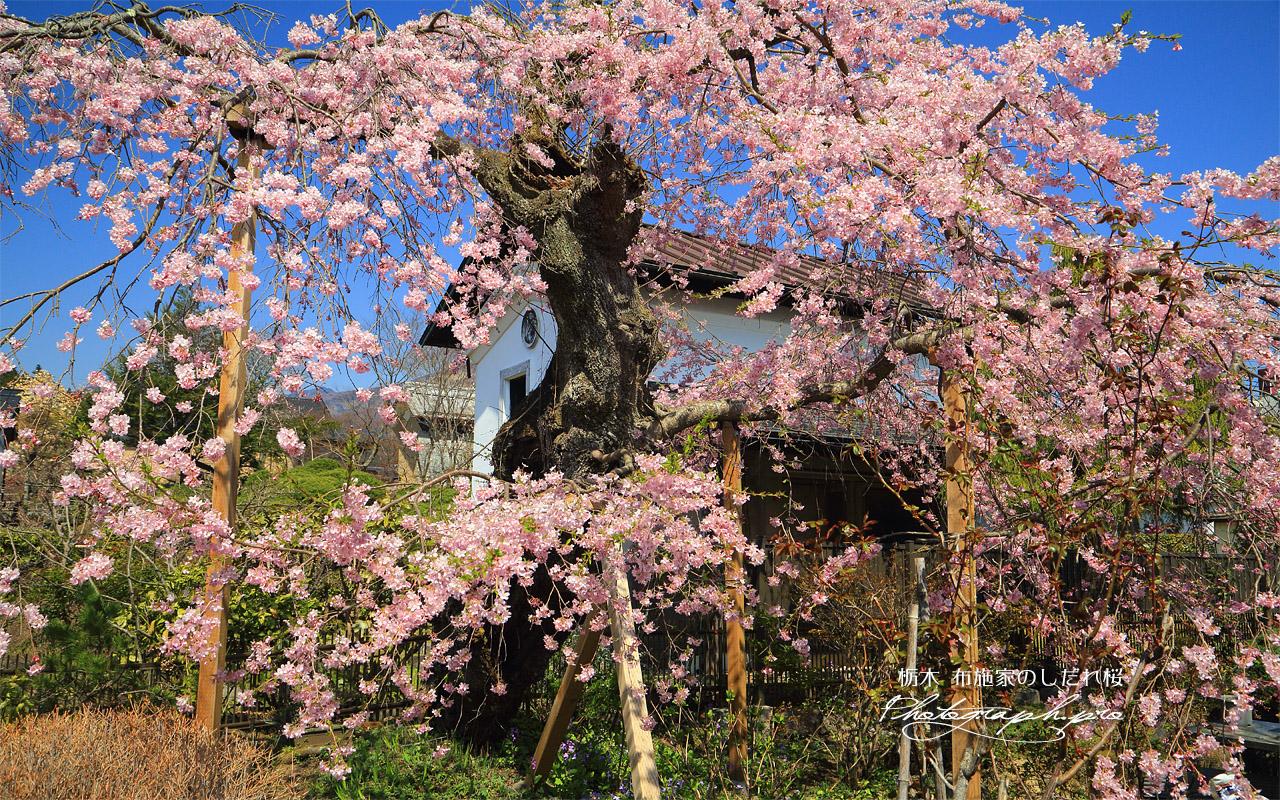 布施家のしだれ桜 壁紙