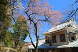 日光総合支所の桜