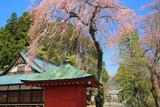 観音寺のしだれ桜