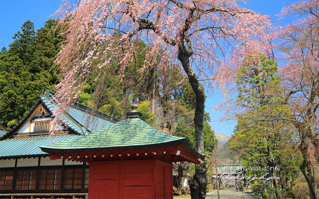 観音寺のしだれ桜 壁紙