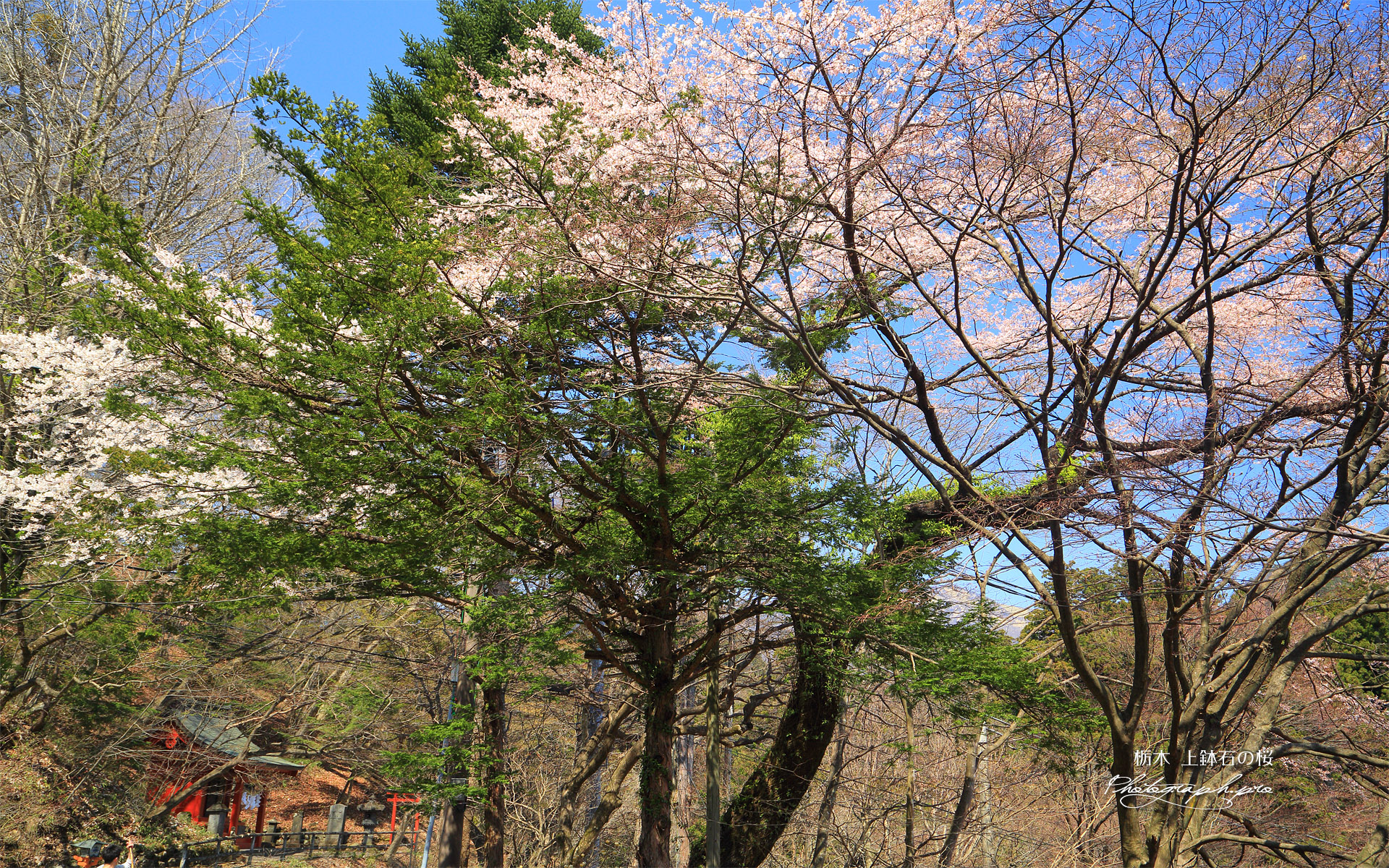 上鉢石の桜