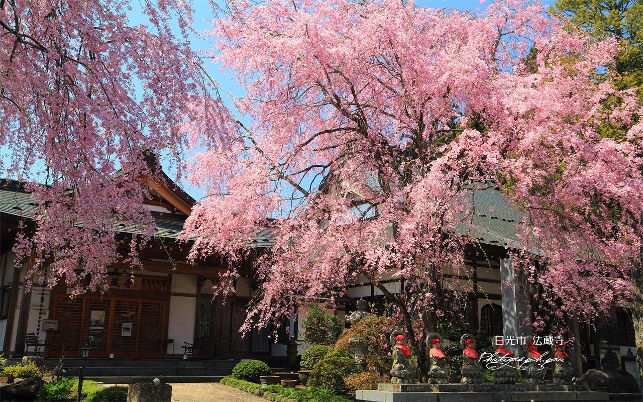 法蔵寺のしだれ桜 壁紙