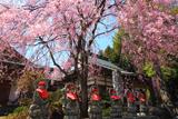 法蔵寺のしだれ桜