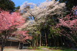 岩崎神社のエドヒガン
