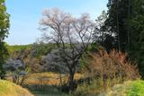 矢野口の腰掛桜