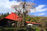 三福寺の枝垂れ桜