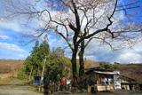 忠治地蔵1本桜