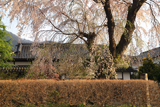 猿ヶ京関所跡のしだれ桜