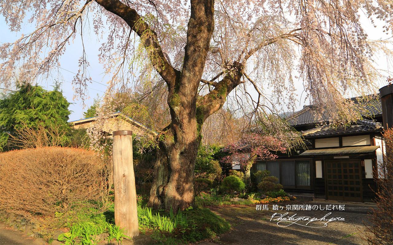猿ヶ京関所跡のしだれ桜 壁紙