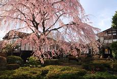 丸一のしだれ桜